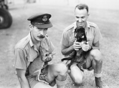 Squadron mascots, 1943 (Australian War Memorial collection) Tags: dog pet pets hat animal animals mammal joey greenwood australia canine movember moustache mascot cap kangaroo wallaby soldiers marsupial mascots kangaroos raaf 1943 agnew northernterritory sergeant squadron possibly canis australianwarmemorial beaufighter flightlieutenant 31squadron bagnew coomaliecreek commons:event=commonground2009 gagreenwood