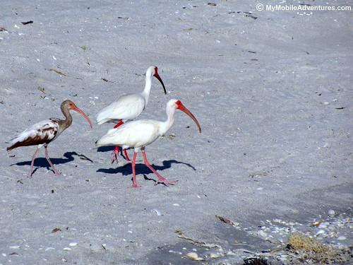 IMG_0556-white-ibis-family