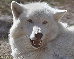 Cutie! (Eve'sNature) Tags: nature fur wildlife teeth canine meat growl wolves carnivore specanimal
