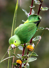 Tuim, Blue-winged Parrotlet (Forpus xanthopterygius) (claudio.marcio2) Tags: bird nature dragon wildlife natureza pssaro aves birdwatching soe breathtaking oiseaux birdwatcher wonderfulnature naturesfinest supershot birdsbirdsbirds flickrnature natureplus mywinners shieldofexcellence anawesomeshot impressedbeauty nationalgeographicareyougoodenough avianexcellence photosandcalendar citritgroup theunforgettablepictures eperkeaward concordians everydayissunday theperfectphotographer natureislovely goldstaraward photossansfrontires natureselegantshots spiritofphotography birdsinsideandoutside atravsdaminhalentethroughmylens stunningplanetearth feathersbeaksbirds damniwishidtakenthat allthosebirds screamofthephotographer worldnaturewildlifecloseup planetaterraeseusanimaisincrveis photographersgonewild enarmonaconlanaturaleza naturegreenstar naturescreations theworldbestnaturewildlifeandmacrophotography ~newenvyofflickr~ dragonflyawardsgroup