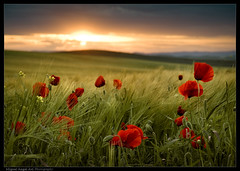 ltimos rayos de sol / last beams of sun (Miguel Angel Avi) Tags: sunset espaa atardecer andaluca spain cereal poppy poppies linares andalusia trigo campia amapola cebada platinumheartaward