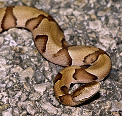 Southern Copperhead, east Texas