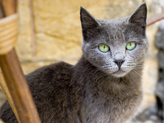 Egyptian Beauty (Experiencing) Tags: green cat grey eyes egypt cairo africabeauty