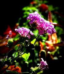 Secret Garden (Jenn (ovaunda)) Tags: sony dsch5 green violet purple ovaunda jennovaunda