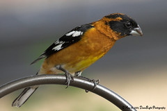 Black-headed Grosbeak (Herb Dunn (YosemiteJunkie)) Tags: bird grosbeak kpa birdwatcher awesomeshot featheryfriday abigfave herbdunn dunnrightphotography kerncountyphotographers baabshots grouptripod