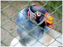 Zoolgico - Sapucaia do Sul RS (le jardin public - CS Photo) Tags: wild nature colors beauty animals brasil fauna zoo loneliness cage zoolgico rs imposing wildanimals sapucaia