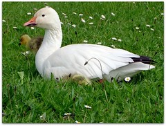 Baby Snow Geese with mum (macfudge1UK) Tags: uk summer england bird nature fauna geese europe babies wildlife waterbird goose gosling waterfowl 2009 oxfordshire anser oxon snowgoose naturesfinest lessersnowgoose ansercaerulescens springwatch blueribbonwinner stantonharcourt allrightsreserved bej bbcspringwatch impressedbeauty citrit s100fs naturethroughthelens fujifilmfinepixs100fs