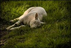 Silence of the lambs (zebra404) Tags: grass animal spring sheep nederland denhaag lamb gras lente wassenaar thehague lam weg zebra404 smrgsbord schaap timroff