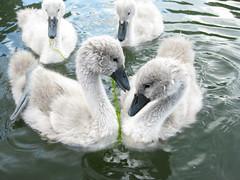 IMG_0832 ((Jessica)) Tags: cambridge swans cygnets babyswans