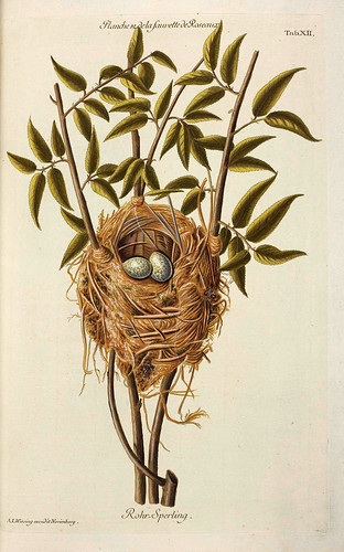 004-Nido de Curruca-Colección de nidos de aves 1772