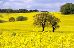 RAPESEED FOREGROUND 2 (jimj0will) Tags: uk england yellow landscape countryside farm farming rape oil fields agriculture essex depth canola hydehall oilseed cultivated hanningfield countyofessex cybershoth3 jimj0will jimjowill