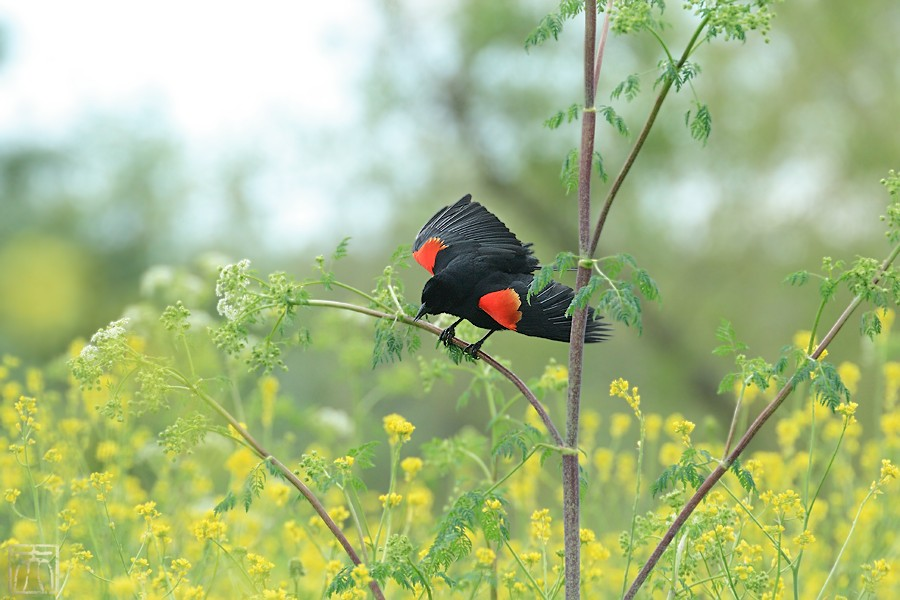 Red-winged Blackbird 04101-11