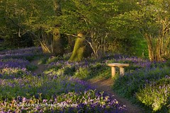 Bluebell Wood - Take a seat (David Crosbie) Tags: uk trees nature bluebells spring dorset wildflowers eveninglight wimborne pamphill