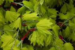 New leaves acer shirasawanum 'Aureum' - Golden leaf Full Moon Japanese Maple.