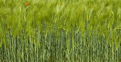 Verde risveglio (giogra_) Tags: verde primavera spring rosso grano spighe