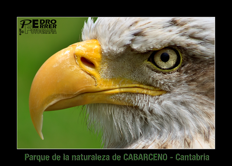 Cabárceno - águila calva