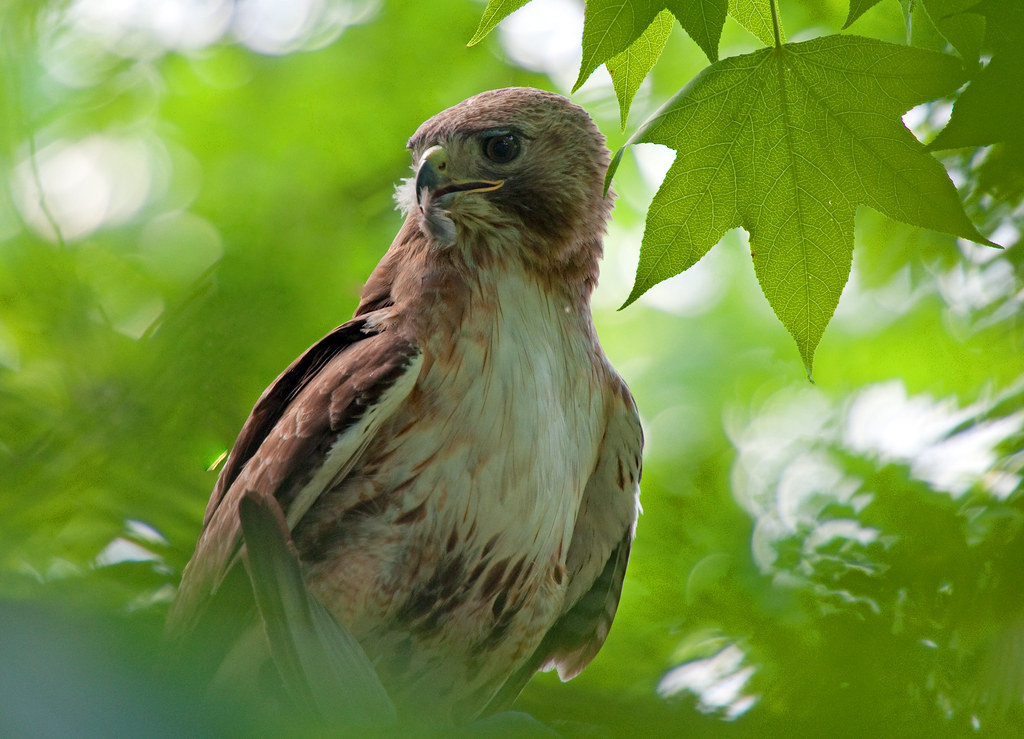 Red-Tailed Hawk - Low In The Trees