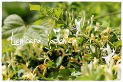 Japanese Honeysuckle (drewmaust) Tags: honeysuckle japanesehoneysuckle lonicerajaponica