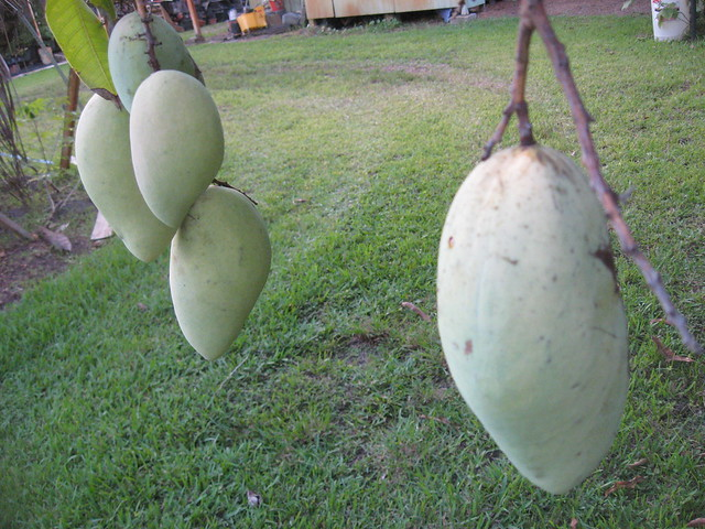 MangoNDMfruit
