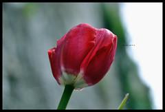 Siete proprio degli sciocchi, voi viventi! (_hUMANtORCH_) Tags: life red sun flower muro verde green nikon sole fiore rosso petali vita gambo pomeriggio fumone d3000