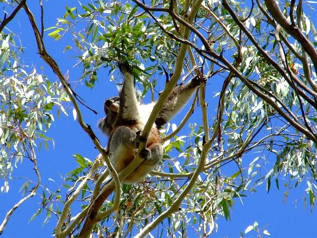 cute koala awake