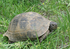 He Went Alone (B A R A N) Tags: persian solitude finding iran tortoise allalone صحرا baranok لاکپشت thejourneyson