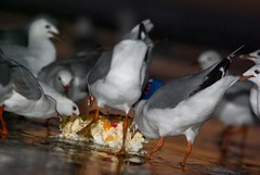 Pigeons speed eating yesterday