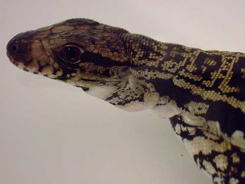 Pictures of my blue tegu • Bearded Dragon   org