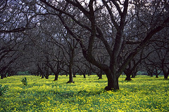Mustard field (TomFalconer) Tags: california trees film yellow 35mm central orchard mustard fujichrome