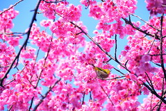 Sakura / So Much Spring (*Sakura*) Tags: pink flower green bird japan cherry tokyo blossom bluesky explore   sakura bud earlyspring