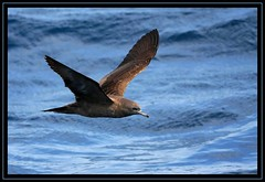 Wedge-tailed Shearwater, February Wollongong Pelagic, 28.2.09b (Tobias Hayashi Photography) Tags: ocean sea brown bird water pose dark boat flight hard australia nsw rocking shearwater common wollongong wedgetailedshearwater naturesfinest puffinuspacificus wedgetailed sigma50500mmf463 canoneos40d procellariformes globalbirdtrekkers vosplusbellesphotos februarywollongongpelagic ardennapacificus