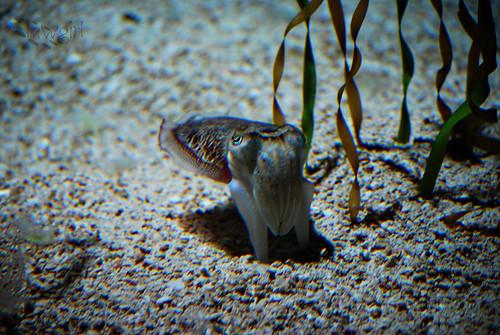 Ga_Aq_Cuttle_Fish[2009]