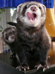 Poor Hungry Ferrets (mandragor.de) Tags: cute animal animals tongue naughty out fur ferret ferrets furry funny small lustig hungry fell zunge frettchen futter hungrig ss furette