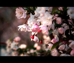 spring is here! (fateless_gypsy) Tags: china pink flowers sunset colour dawn spring asia soft shanghai cherryblossom bud shanghaiist blooming