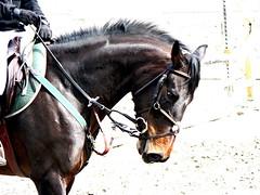 Trust (kiwipilu) Tags: horse cheval lumix jumping mare uma trust concours bai carrire cso coriandre jument questel sellefranais lumixaward