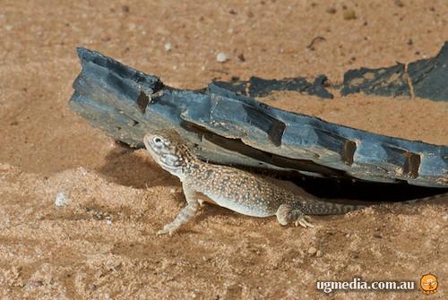 Central netted dragon (Ctenophorus nuchalis)