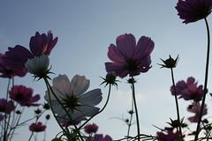 IMG_3284 (yuko.S) Tags: autumn sky flower nature japan canon landscape cosmos kochi