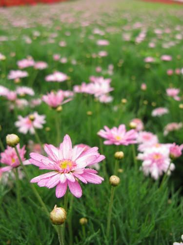 大溪花海農場-開很漂亮的花