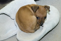 Chiqui Feeling a Bit Insecure (tiredyda) Tags: dog chihuahua miniature pinscher chiqui