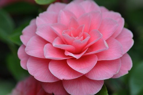 A gorgeous camellia in a Beacon Hill yard. Photo by Freeman Mester in the Beacon Hill Blog photo pool.