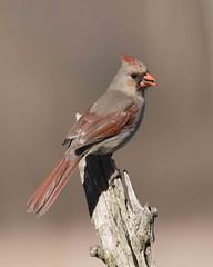 A beautiful female Cardinal (Mike'sPlace) Tags: nikon cardinal michigan 300mm d300 citrit dragongoldaward 14xtele 041609045