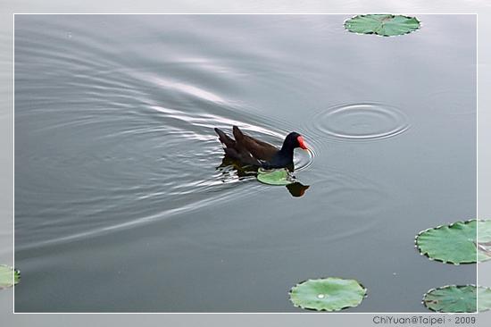 台北植物園。紅冠水雞01