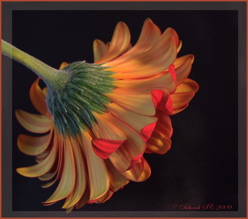 Light on a Gerbera
