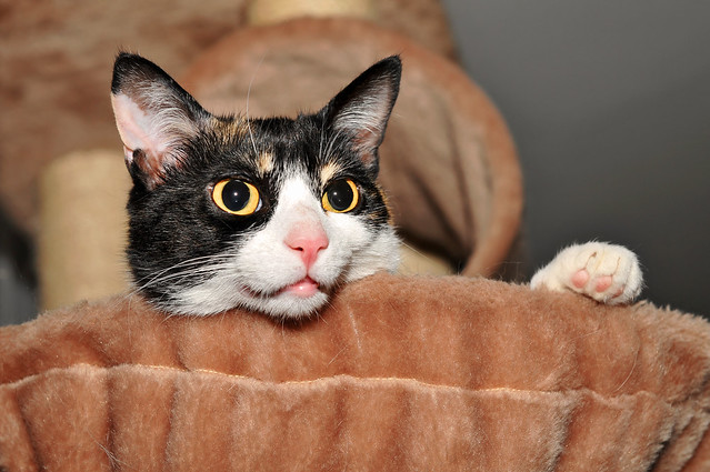white black cute comfortable female cat bavaria paw nikon feline basket kitty lucky calico felid d300