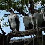 King Vultures, ZSL London Zoo, Regents Park thumbnail