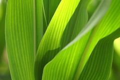 2008-07-06 7D JB 0056## (cosplay shooter) Tags: verde green leaves corn groen vert mais grn sweetcorn milhoverde grn indiancorn majs maz grnt mazdulce greencorn 200z zoetemais mmilho sockermajs