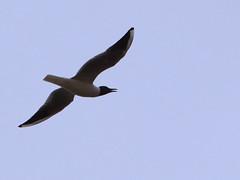 Black-Headed Gull (Chroicocephalus ridibundus) /    (Mehdi Kavousian) Tags: west bird fly iran sing  birdwatching mahabad blackheadedgull  azarbayjan     chroicocephalusridibundus  azarbayjanghabi fakhrgah