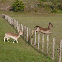 Prison break (Gerwin Filius) Tags: square jumping zeeland deer hert walcheren vierkant oranjezon canon70200mm springend canon400d canonef70200mmf4lisusm