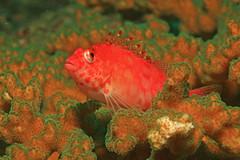 Panamanian Hawkfish (laszlo-photo) Tags: coral scuba panama reef hawkfish coth cirrhitichthys cirrhitichthysoxycephalus oxycephalus theunforgettablepictures