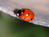 Lady bug 4